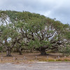 Live Oak trees near the Big Tree Live Oak, which is more that 1000 years old, at Goose Island State Park near Rockport, Texas. All of these trees have lived amazingly long lives.