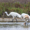 Whooping Cranes in Aransas National Wildlife Refuge