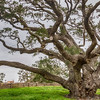 Big Tree Live Oak, more that 1000 years old, at Goose Island State Park near Rockport, Texas. It is estimated to have survived more than 40 hurricanes, floods and storms in its lifetime.