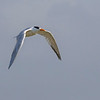 Royal Tern in flight at Aransas National Wildlife Refuge