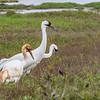Whooping Cranes at Aransas Nationa Wildlife Refuge in winter