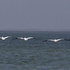 American White Pelicans in flight, flushed from oyster reef in Aransas Bay.