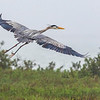 Great Blue Heron in flight over Aransas National Wildlife Refuge