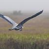 Great Blue Heron in flight over Aransas National Wildlife Refuge