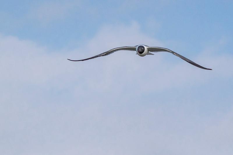 Laughing Gulls flying over Aransas Bay
