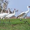 Whooping Cranes foraging near Aransas National Wildlife Refuge