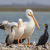 American White Pelicans and Double-crested Cormorants on oyster reef in Aransas Bay