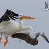 American White Pelicans in flight, flushed from oyster reef along with gulls and cormorants in Aransas Bay.