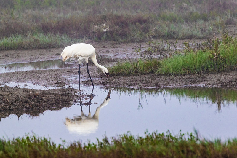 Whooping Crane in Aransas National Wildlife Refuge