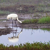 Whooping Crane in Aransas National Wildlife Refuge