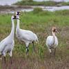 Whooping Cranes at Aransas National Wildlife Refuge in winter