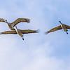 Sandhill Cranes in flight over Aransas National Wildlife Refuge