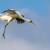 Whooping Cranes in flight, coming in for landing at Aransas National Wildlife Refuge