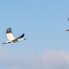 Whooping Cranes taking off in flight over Aransas National Wildlife Refuge