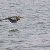 Great Blue Heron in flight at Aransas Bay near Rockport Texas