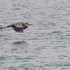 Great Blue Heron in flight at Aransas Bay near Rockport Texas
