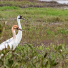 Whooping Cranes at Aransas Nationa Wildlife Refuge in winter