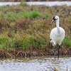 Whooping Cranes in Aransas National Wildlife Refuge on a misty, foggy morning