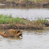 Common Raccoon in Aransas National Wildlife Refuge