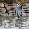 Great Blue Heron in Aransas National Wildlife Refuge
