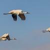 Whooping Cranes in flight over Aransas National Wildlife Refuge