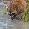Common Raccoon in Aransas National Wildlife Refuge