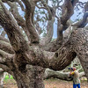 Photographer at the Live Oak trees near the Big Tree Live Oak, which is more that 1000 years old, at Goose Island State Park near Rockport, Texas. All of these trees have lived amazingly long lives.