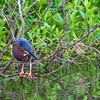 Green Heron in breeding plumage along Armand Bayou in Pasadena Texas.
