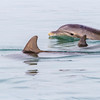 Bottlenose Dolphins playing in bay at Port Aransas, Texas.