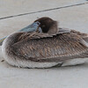 Juvenile Brown Pelican resting on Pelican Island