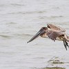 Juvenile Brown Pelican in flight at Pelican Island, Galveston.