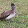 Juvenile Brown Pelican on Pelican Island, injured by fishing hooks.