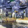 King Penguins exhibit and habitat at Moody Gardens Aquarium Pyramid in Galveston.