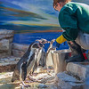 Feeding the Humboldt Penguins at Moody Gardens Aquarium Pyramid in Galveston.