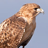 "Captive Red-tailed Hawk,  Buteo jamaicensis, at Block Creek Natural Area, a coalition of conservation oriented ranchers in Central Texas. This injured hawk is part of a bird of prey rehabilitation, rescue program, and education program by ""Last Chance Forever - The Bird of Prey Conservancy"" located in Central Texas."