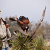 "John Karger with Captive Harris's (or Harris) Hawk, Parabuteo unicinctus, at Block Creek Natural Area, a coalition of conservation oriented ranchers in Central Texas. This injured hawk is part of John Karger's bird of prey rehabilitation, rescue program, and education program by ""Last Chance Forever - The Bird of Prey Conservancy"" located in Central Texas."