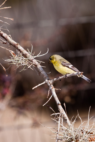 Lesser Goldfinch or Dark-backed Goldfinch,  Carduelis psaltria, at Block Creek Natural Area, a coalition of conservation oriented ranchers in Central Texas.