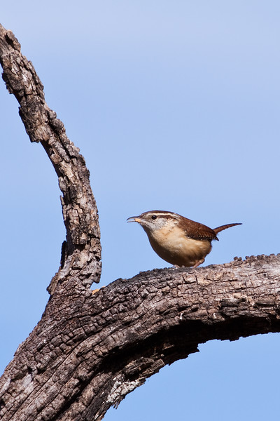 Carolina Wren, Thryothorus ludovicianus, at Block Creek Natural Area, a coalition of conservation oriented ranchers in Central Texas.