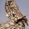 "Captive Eastern Screech-owl, Megascops asio, at Block Creek Natural Area, a coalition of conservation oriented ranchers in Central Texas. This tiny owl is part of a bird of prey rehabilitation, rescue program, and education program by ""Last Chance Forever - The Bird of Prey Conservancy"" located in Central Texas."