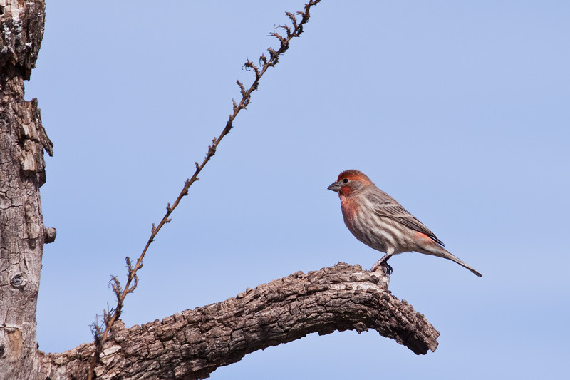 House Finch, Carpodacus mexicanus, at Block Creek Natural Area, a coalition of conservation oriented ranchers in Central Texas.
