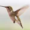 Black-chinned Hummingbird, Archilochus alexandri, at Petersen Ranch in West/Central Texas.