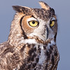 "Captive Great Horned Owl, Bubo virginianus, from the ""Last Chance Forever - The Bird of Prey Conservancy"" organization in Central Texas. Most rescued and rehabilitated birds are returned to the wild, but this owl's injuries prevent it being released. The owl is used in educational programs conducted to promote better understanding of raptors and their place in ecological balance."