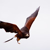 "Captive Harris's (or Harris) Hawk, Parabuteo unicinctus, flying at Block Creek Natural Area, a coalition of conservation oriented ranchers in Central Texas. This injured hawk is part of a bird of prey rehabilitation, rescue program, and education program by ""Last Chance Forever - The Bird of Prey Conservancy"" located in Central Texas."