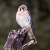 American Kestrel, Falco sparverius, at Block Creek Natural Area, a coalition of conservation oriented ranchers in Central Texas. The American Kestrel is the smallest falcon in North America.