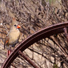 Northern Cardinal, Cardinalis cardinalis, at Block Creek Natural Area, a coalition of conservation oriented ranchers in Central Texas.
