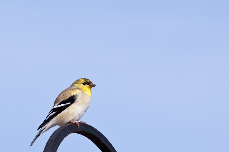 American Goldfinch, Spinus tristis, at Block Creek Natural Area, a coalition of conservation oriented ranchers in Central Texas.