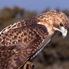 "Captive Red-tailed Hawk, Buteo jamaicensis, from the ""Last Chance Forever - The Bird of Prey Conservancy"" organization in Central Texas. Most rescued and rehabilitated birds are returned to the wild, but this hawk's injuries prevent it being released. The hawk is used in educational programs conducted to promote better understanding of raptors and their place in ecological balance."