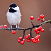 Carolina Chickadee, Poecile carolinensis, at Block Creek Natural Area, a coalition of conservation oriented ranchers in Central Texas.