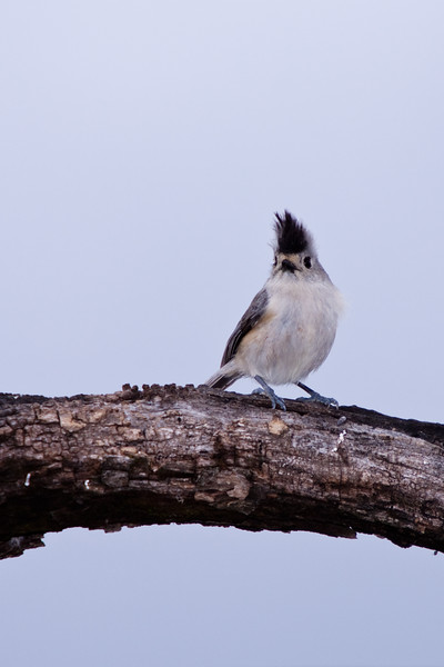 Black-crested Titmouse, Baeolophus atricristatus, at Block Creek Natural Area, a rancher's conservation coalition, in central Texas.