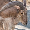 Barbary Sheep, also known as Aoudad, at Natural Bridge Wildlife Ranch.